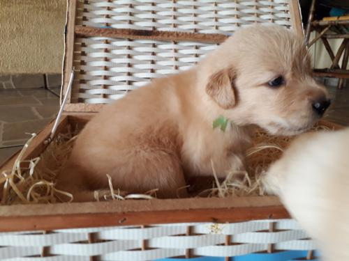 Filhotes Golden Retriever  (1)
