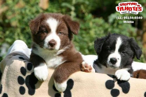Border Preto E Branco/Chocolate/Collie Blue/Red Merle A Pronta Entrega (1)