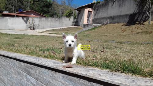 West Highland White Terrier E Pug Filhotes (1)