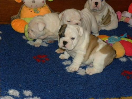 Adorable 3 Months Old English Bulldog Puppy For Adoption Good Loving (3)